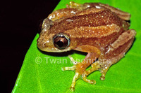 : Afrixalus dorsalis; Striped Spiny Reed Frog