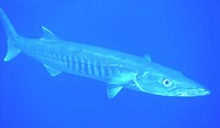 Sphyraena barracuda, Great barracuda: fisheries, gamefish, aquarium