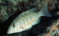 Lethrinus obsoletus, Orange-striped emperor: fisheries