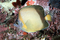 Chaetodon nippon, Japanese butterflyfish: fisheries, aquarium