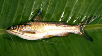 Mystus oculatus, : fisheries