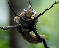 Image of: Tamiops swinhoei (Swinhoe's striped squirrel)