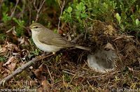 Phylloscopus trochilus - Willow Warbler