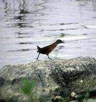 Image of: Laterallus ruber (ruddy crake)
