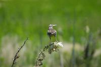 Image of: Sturnella neglecta (western meadowlark)
