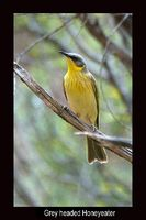 Grey headed Honeyeater