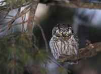 Boreal Owl (Aegolius funereus) photo