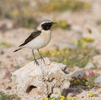Black-eared Wheatear (Oenanthe hispanica) photo