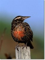 Long-tailed Meadowlark - Sturnella loyca
