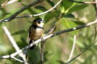 Rusty-collared  seedeater   -   Sporophila  collaris   -