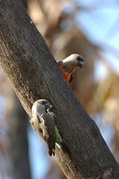 : Neophema chrysogaster; Orange Bellied Parrot