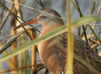 : Rallus limicola; Virginia Rail