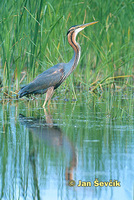 Photo of Ardea purpurea, Purpurreiher, Purple Heron, volavka červená.
