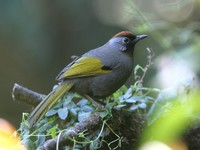ズアカガビチョウ Chestnut-crowned Laughingthrush Garrulax erythrocephalus