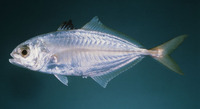 Alepes melanoptera, Blackfin scad: fisheries