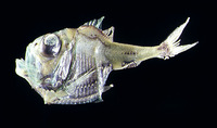 Argyropelecus hemigymnus, Half-naked hatchetfish: