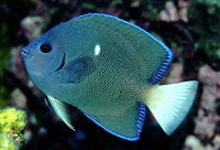 Holacanthus limbaughi, Clipperton angelfish:
