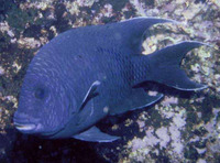 Microspathodon dorsalis, Giant damselfish: