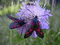 Zygaena lonicerae - Narrow-bordered Five-spot Burnet