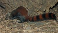 Galidia elegans - Ring-tailed Mongoose