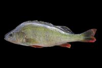 Perca fluviatilis - English Perch