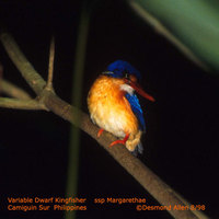 Variable Dwarf Kingfisher - Ceyx lepidus