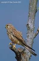 Common Kestrel - Falco tinnunculus