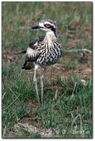 Bush Thick-knee - Burhinus grallarius