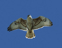 Ferruginous Hawk (Buteo regalis) photo
