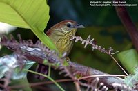 Striped Tit-Babbler - Macronous gularis