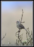Plain-colored Seedeater - Catamenia inornata