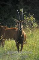 Sable antelope ( Hippotragus niger roosevelti ) , Shimba Hills National Park , Kenya stock photo