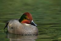 Falcated Duck, San Diego, CA