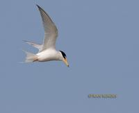 Little tern C20D 03464.jpg