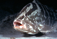...mlet, Sweet lip, Day grouper, Rockfish, White grouper, Day grouper, Nassaunmeriahven, Mérou, Mér