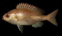 Parascolopsis eriomma, Rosy dwarf monocle bream: fisheries
