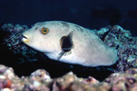 Arothron immaculatus, Immaculate puffer: fisheries, aquarium