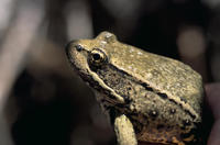 Image of: Rana aurora (red-legged frog)