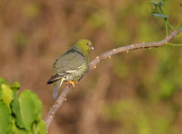 Madagascar Green Pigeon (Treron australis) photo