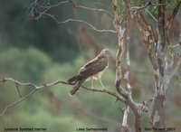 Spotted Harrier - Circus assimilis