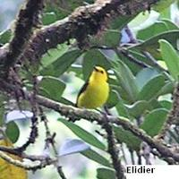 Black-and-yellow Tanager - Chrysothlypis chrysomelaena