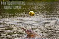 ...Amazonian pink dolphin ( Inia geoffrensis ) playing a soccer ball . In the Amazon is know as bot