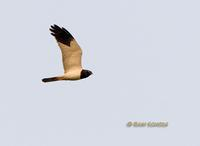 Pied harrier C20D 02439.jpg