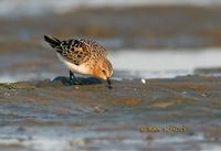 Red-necked stint C20D 02285.jpg
