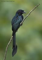 Greater-recket-tailed-Drongo