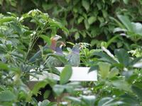 Fruit Dove Feeding Frenzy