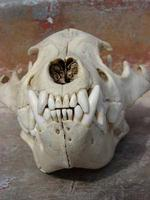 Front View of a Brown Hyena's skull