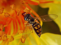 : Syrphid fly; Flower Fly, Hover Fly