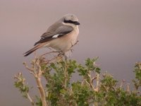 Hybrid shrike (L. collurio/isabellinus). E of Tsagaan nuur, 29 May.