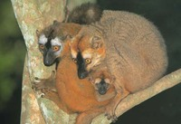 photograph of red-fronted lemurs : Eulemur fulvus rufus